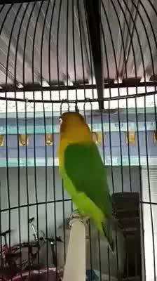 Regalo pappagallo non parla sempre tenuto in camera da for Planimetria camera da letto